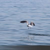 Чайки греческих островов