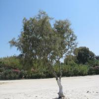 Соляной кедр (Tamarix)